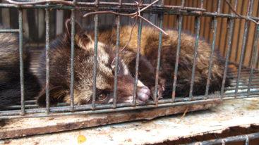 Virus : la Chine interdit le commerce et la consommation d'animaux sauvages