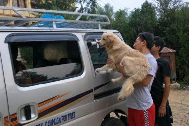 En Inde, depuis 2008, la FBB aide Tibet Charity à soigner les animaux errants