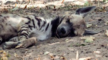 La Fondation vole au secours d'une hyène blessée au Liban