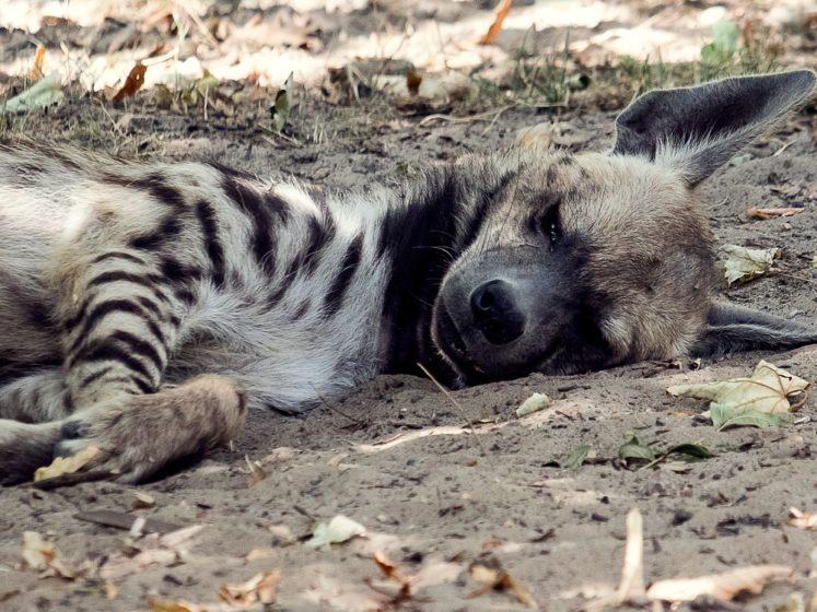fondation brigitte bardot hyene liban animals lebanon tonga terre d accueil