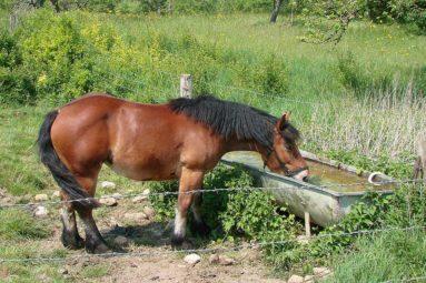 Des chevaux de trait Ardennais sauvés de l'abattoir par la Fondation