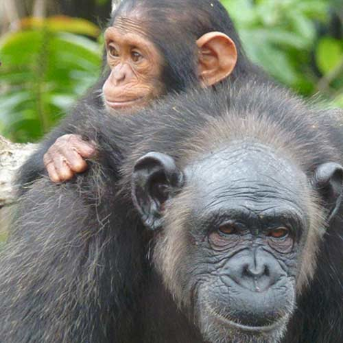 FBB primates Congo