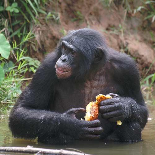 Fondation Brigitte Bardot Lola ya Bonobo
