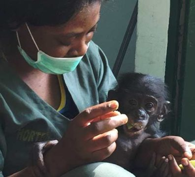 Fondation Brigitte Bardot bonobo