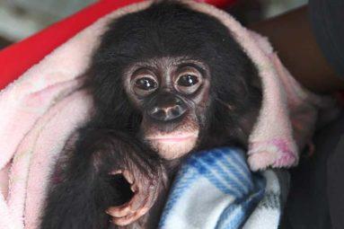 En RDC, la FBB apporte son soutien à Lola Ya Bonobo depuis 2002
