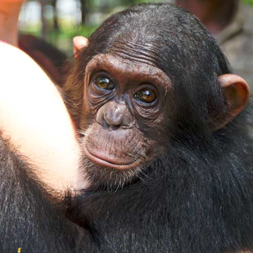 FBB Congo chimpanzés