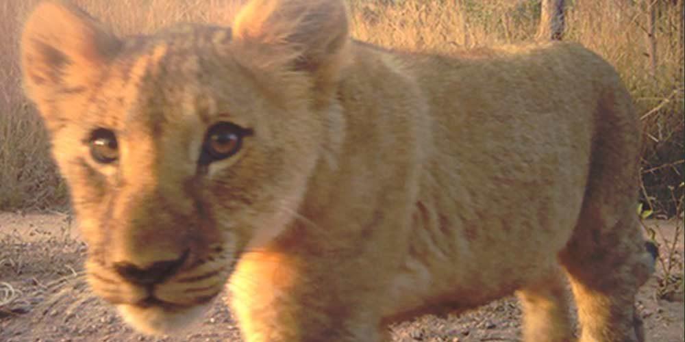 La FBB apporte son soutien à Panthera Cats au Sénégal depuis 2017