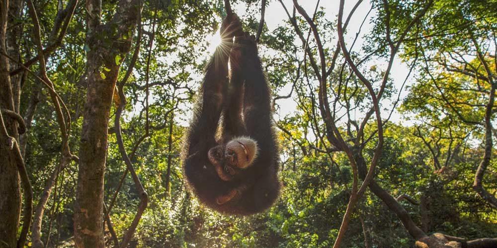 Depuis 2008, la FBB apporte son soutien au Projet Primates France en Guinée