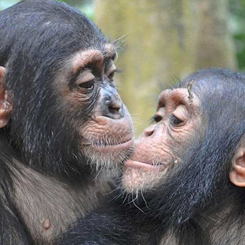 Sanaga Yong Chimp Rescue cameroon
