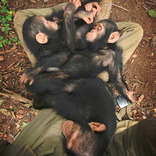 Sanaga Yong Chimp Rescue