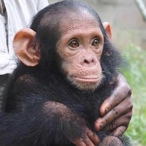 Sanaga Yong chimpanzés
