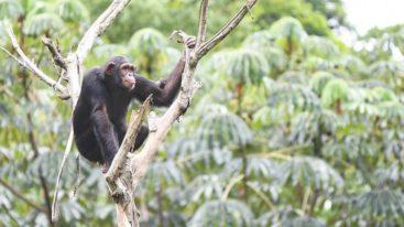 Depuis plus de 10 ans, la FBB apporte son soutien à Sanaga Yong Chimp Rescue au Cameroun