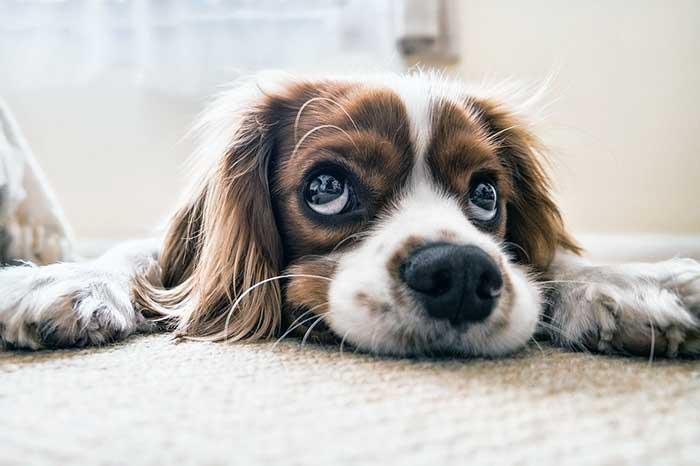 coronavirus confinement consequences chien