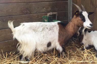 La FBB prend en charge une vingtaine de chiens, moutons, chèvres et bovins dans la Manche