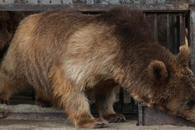 Sauvetage exceptionnel de 2 ours et 3 lions dans un zoo privé de Gyumri en Arménie