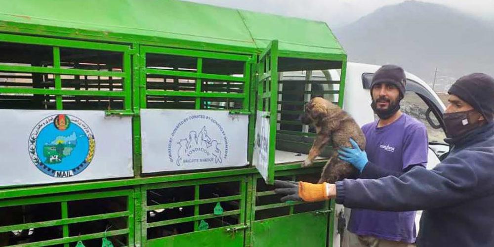 Afghanistan : plus de 2 500 stérilisations d'animaux errants effectuées depuis janvier 2020 grâce à l'aide de la FBB