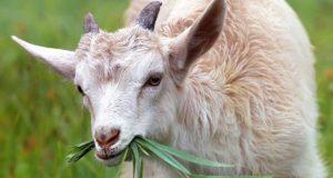 fondation brigitte bardot chevreaux mâles déchets industrie laitière fromage de chevre