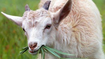 Industrie laitière : les chevreaux mâles nouveau-nés considérés comme des déchets à cause du confinement