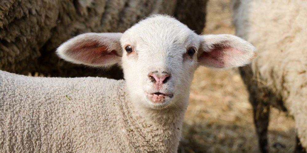 Pâques : 500 000 agneaux échappent à l'abattoir en raison du confinement en France