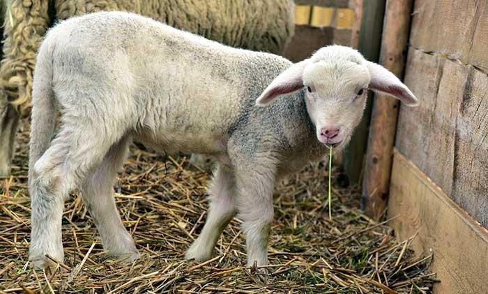 fondation brigitte bardot pâques agneaux abattage confinement