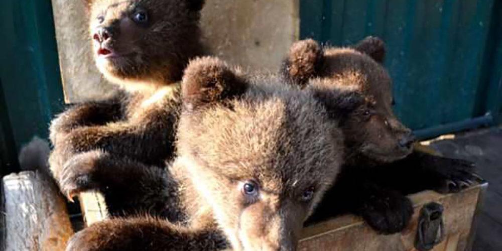 Russie : trois oursons orphelins recueillis par le centre Utyos, soutenu par la FBB depuis 2016 (des nouvelles !)