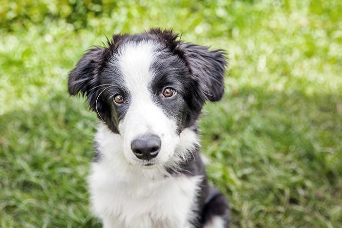 comment habituer chiens chien port masque humain coronavirus