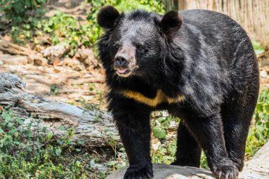 Contre le Covid-19, la Chine recommande un remède traditionnel contenant de la poudre de bile d'ours !