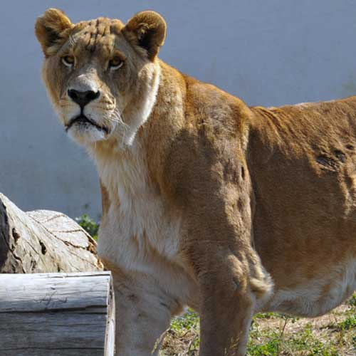 Fondation Brigitte Bardot Lion