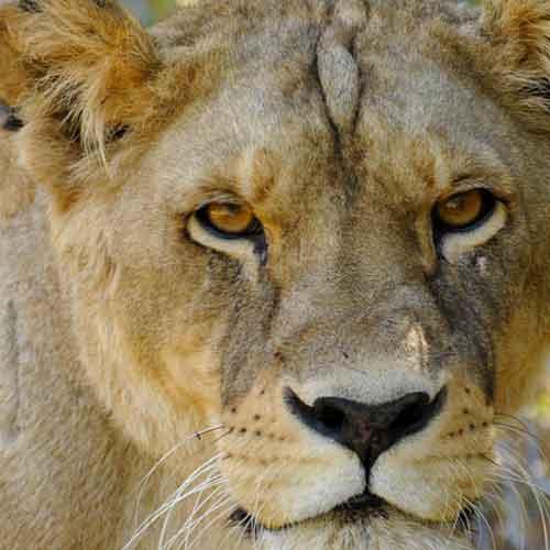 Fondation Brigitte Bardot Transfert Lion Cirques