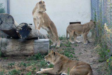 Quatre anciens lions de cirque rejoindront bientôt la terre de leurs ancêtres !