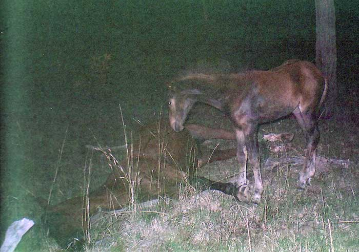fondation brigitte bardot pétition contre tueries chevaux sauvages brumbies australie