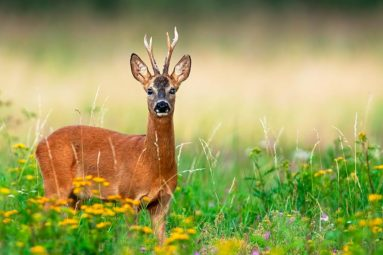 Sangliers, chevreuil et renards massacrés par les chasseurs dès le 1er juin ? Dites non à l'ouverture anticipée de la chasse dans votre département !