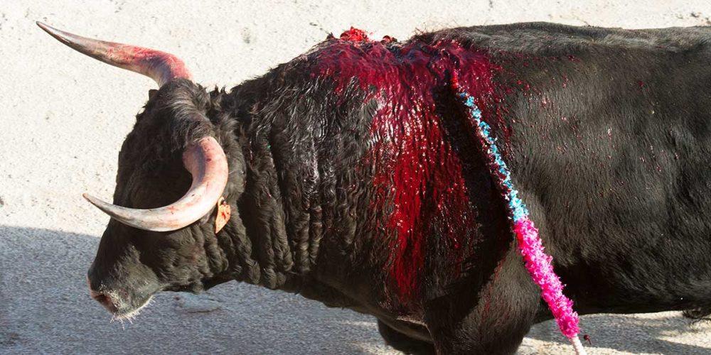 Corridas annulées : les taureaux de combat envoyés à l'abattoir !