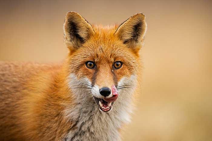 fondation brigitte bardot consultation publique ouverture anticipée chasse &er juin 2020 sangliers renards chevreuils