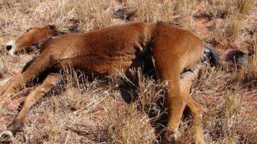 Signez en urgence la pétition contre les tueries par balles des chevaux sauvages australiens !