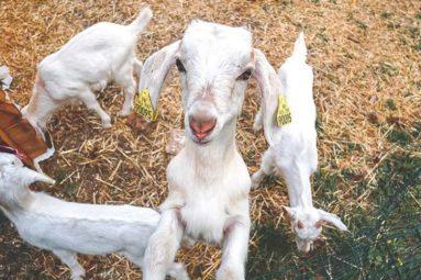 Des chevreaux rescapés de l'industrie laitière grâce aux aides de la FBB
