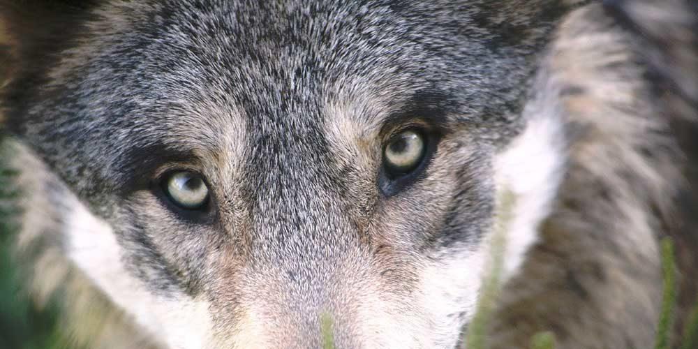 SONDAGE : 84 % des Français seraient en faveur d'une stricte protection du loup