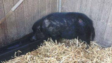 Sauvetage d'un cochon blessé par balle dans l'Eure (des nouvelles !)