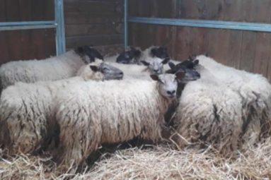 La Fondation Brigitte Bardot prend en charge des moutons errants dans le Calvados