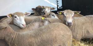 Fondation Brigitte Bardot Mouton Aid