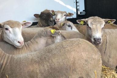 Transfert de moutons sauvés de l'Aïd el-Kebir 2019