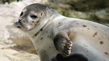Baie de Somme : stop aux touristes effrayant les phoques pour faire des selfies !
