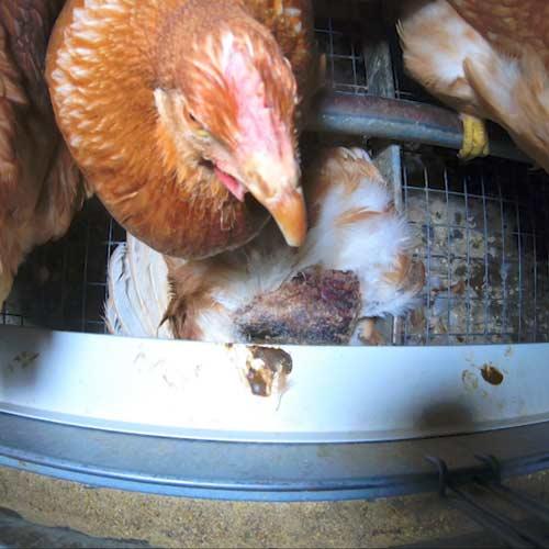 Fondation Brigitte Bardot Enquete poules intensif