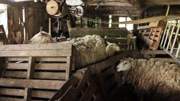 Orne : 245 moutons maltraités sauvés par la Fondation Brigitte Bardot