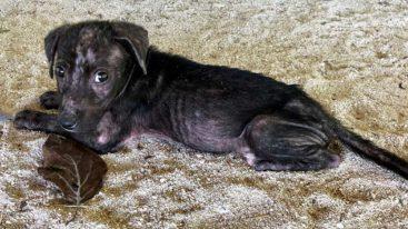 En Polynésie française, la FBB offre son aide à l'association «A Ti'a Matairea» et WVS pour stériliser 1 500 chiens errants