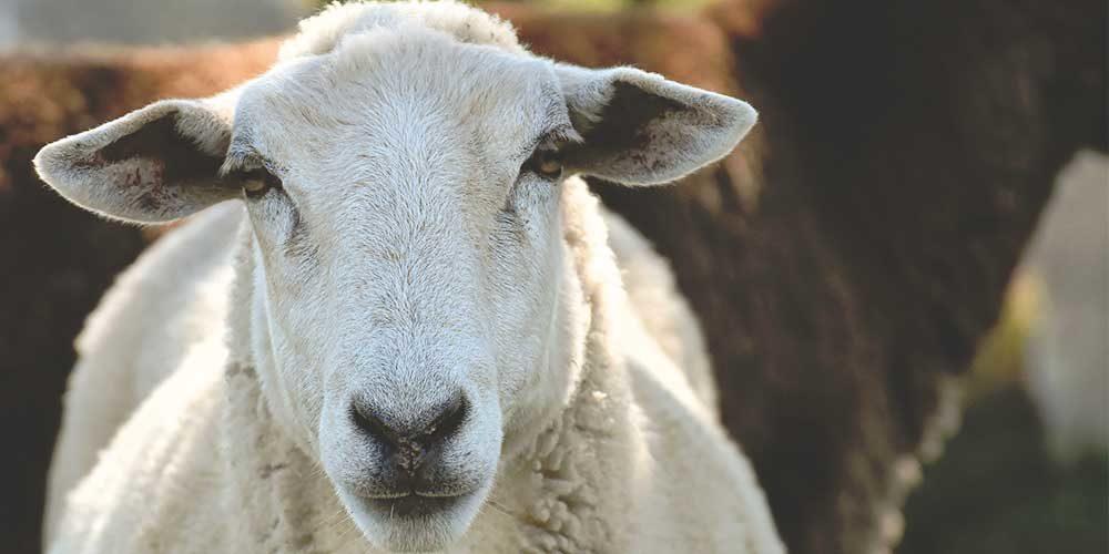 Ile-de-France : les moutons sauvés de l'Aïd 2020 rejoignent l'Arche de BB