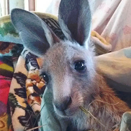 Fondation Brigitte Bardot soins kangourous australie