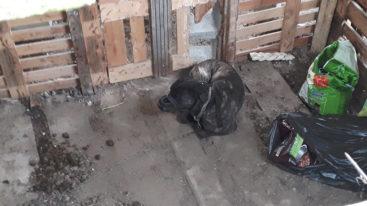 Sauvé par la FBB, un chien vivait dans 2m2, enchâiné, muselé avec un collier électrique