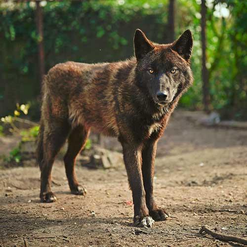 Fondation Brigitte Bardot accueil loup