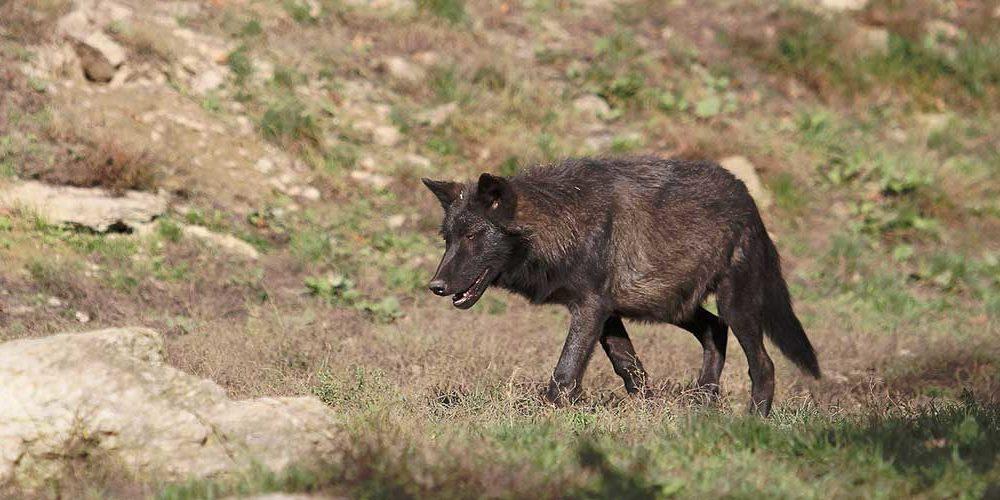 Suite à la destruction du Parc Alpha Loups, la FBB propose d'organiser l'accueil des loups échappés